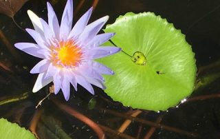 Water Lilies, Flower